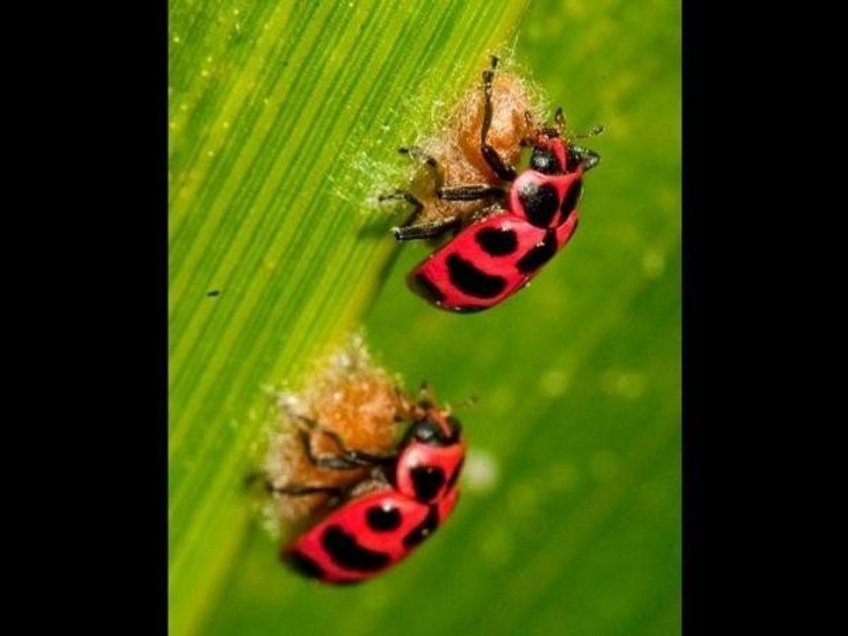 El tiempo durante el cual una larva de avispa manipula a la mariquita para que proteja …