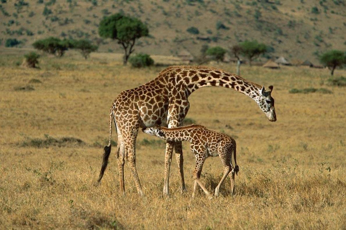 Jirafas masai