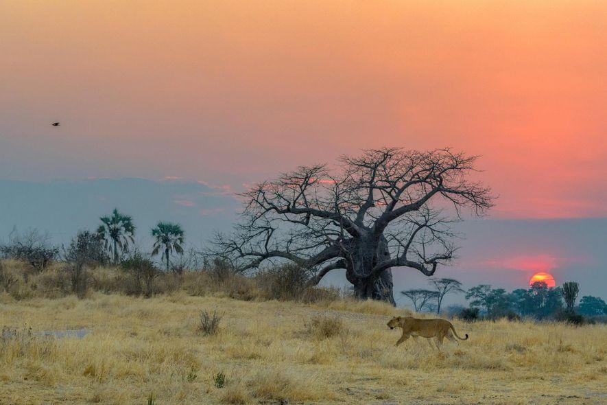 Una leona al acecho en el Serengueti.