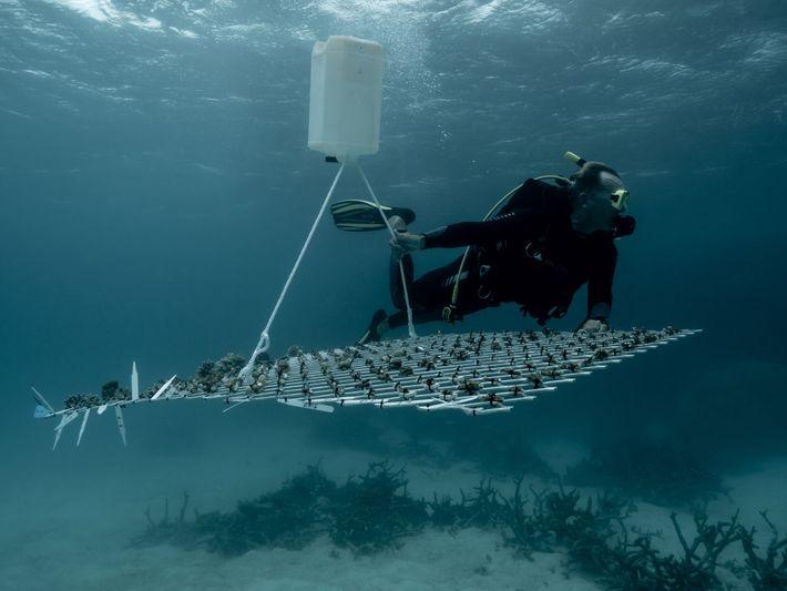 Corales trasplantados