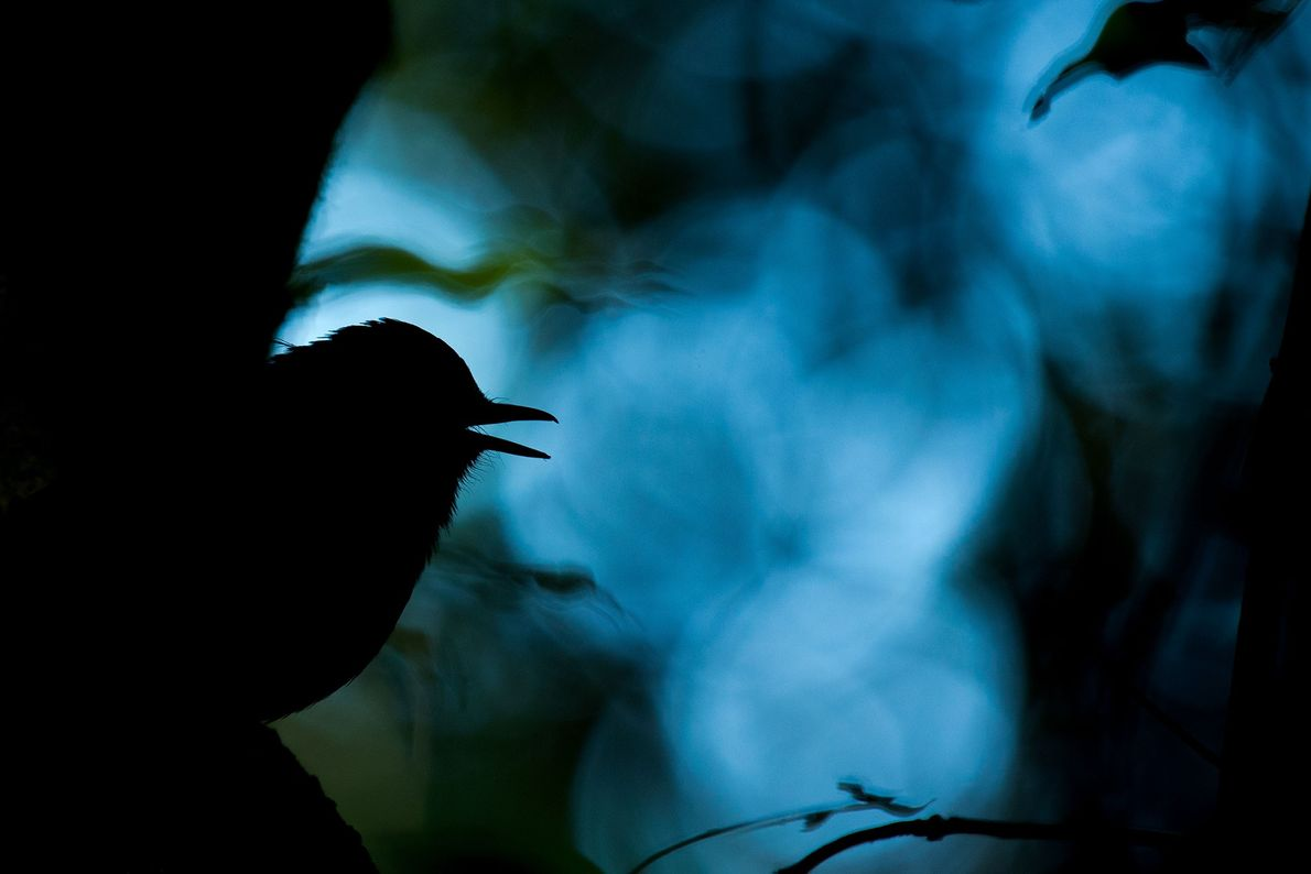 The songbird Sholicola albiventris sings a unique song during the courtship ritual in a dark understory ...