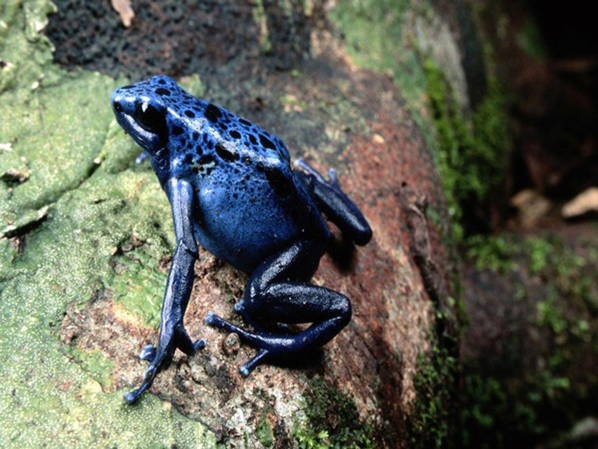 Rana azul venenosa