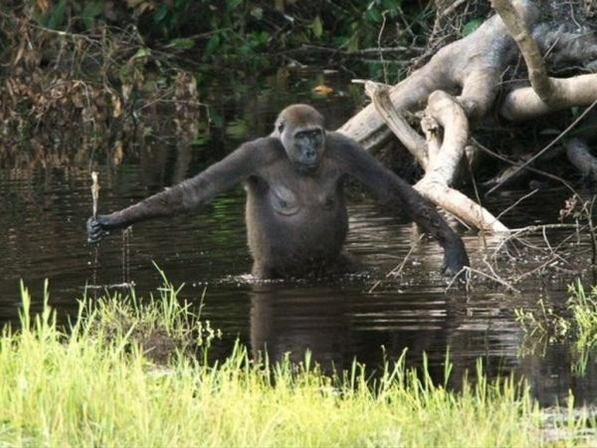 Los gorilas también utilizan herramientas