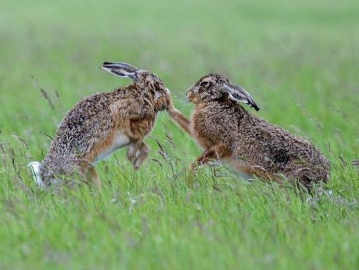 Una hembra de liebre común (derecha) se pelea con un macho en Gales