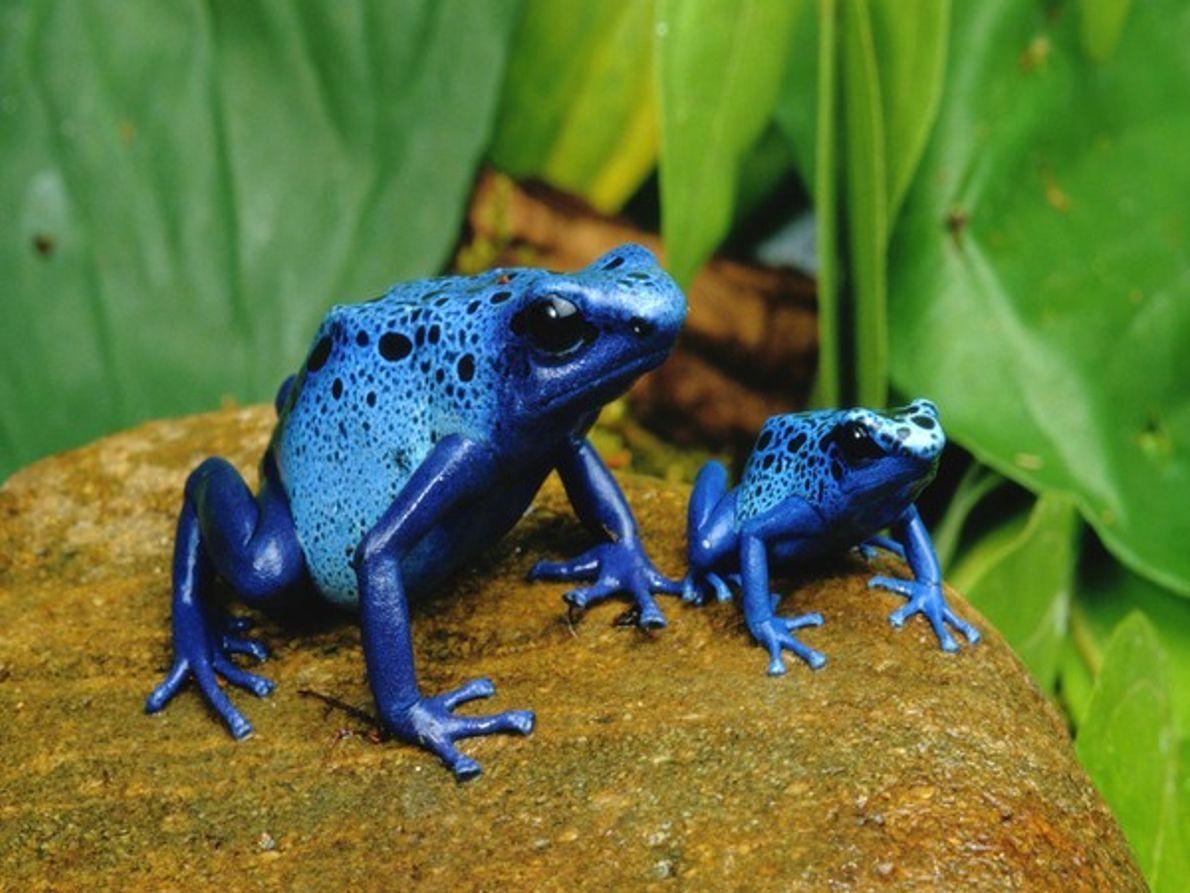 ranas azules