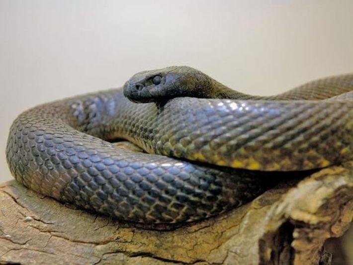La taipán de interior es considerada la serpiente más venenosa del mundo