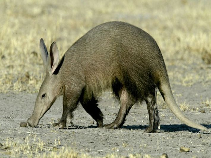 Curiosidades: Cerdo hormiguero