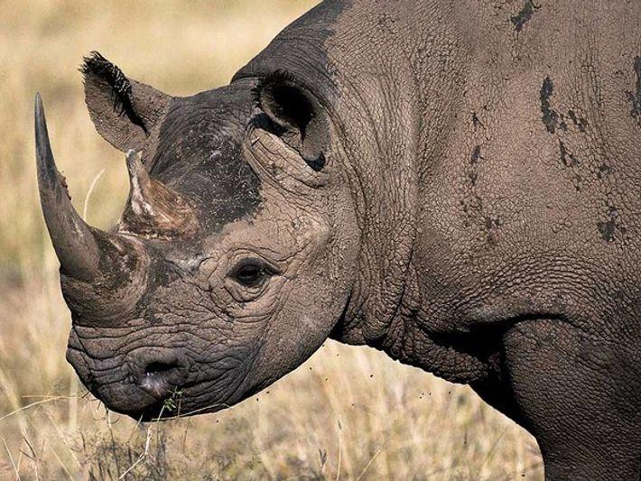 Primer plano de un rinoceronte negro