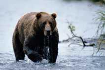 Un oso pardo de Kodiak sale de un río