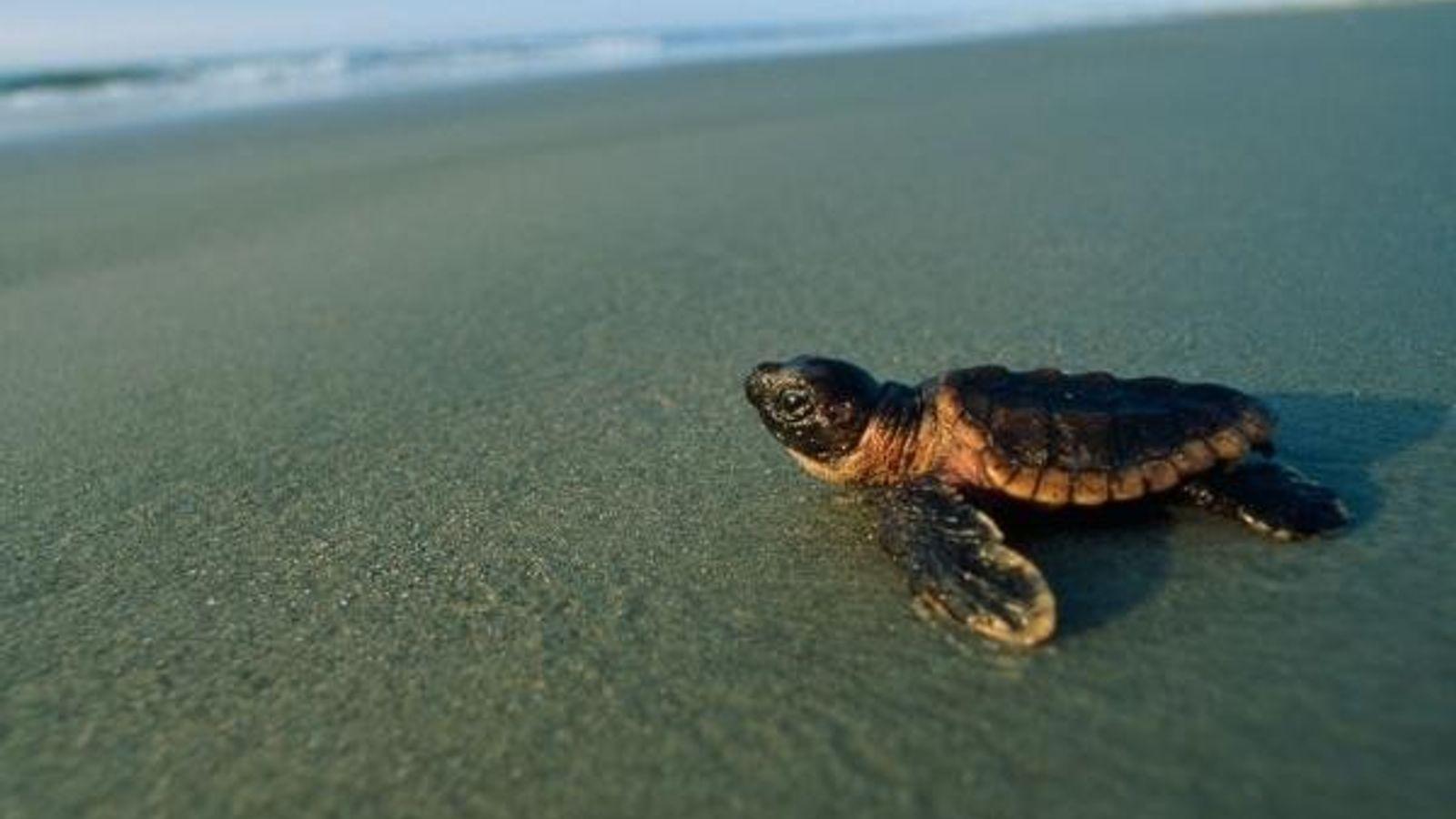 Una tortuga recién nacida se dirige al agua