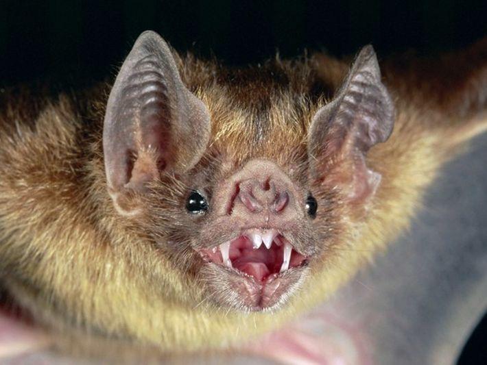 Murciélago vampiro común | National Geographic