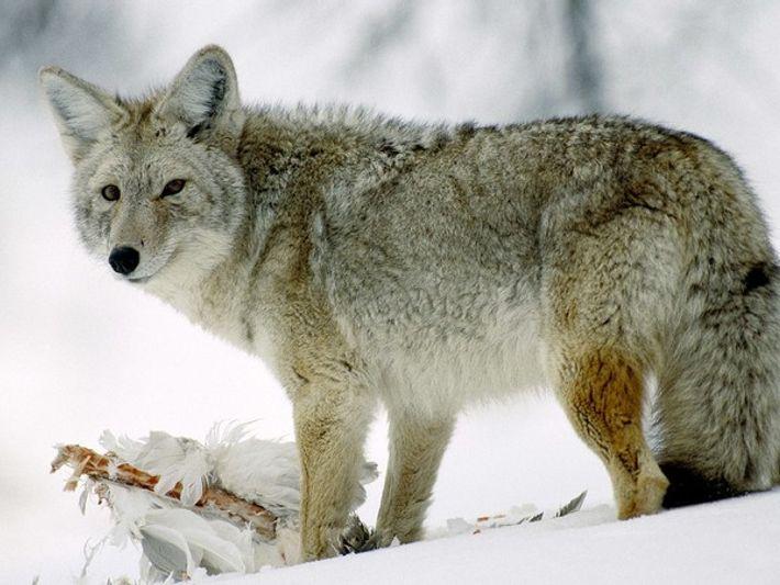 Un coyote comiendo