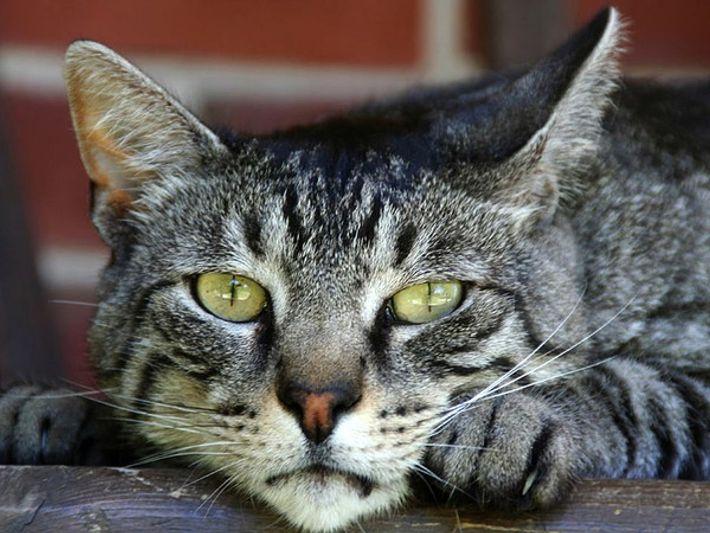 Barnyard el gato