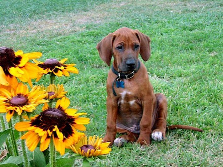 Cachorro de perro crestado de Rhodesia