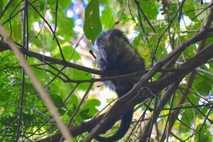 Coendou mexicanus en un árbol en Costa Rica