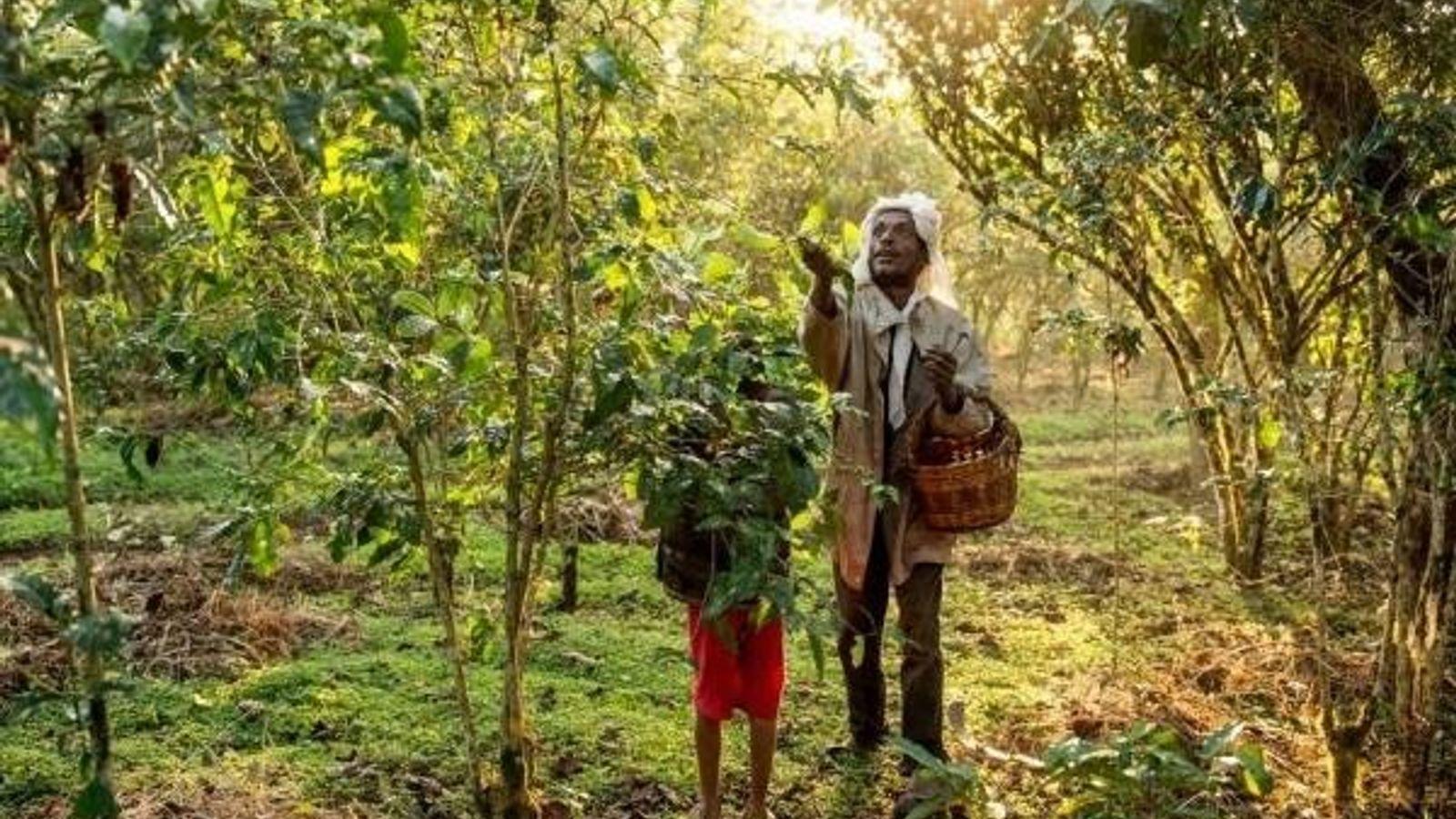 El agricultor de café etíope Awol Abagojam y su hijo Isaac cultivan su producto de la ...