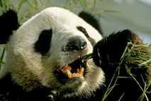 ¿Cómo sobreviven los pandas gigantes comiendo solo bambú?