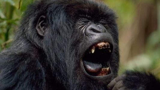 Los curiosos dientes de los gorilas y los elefantes