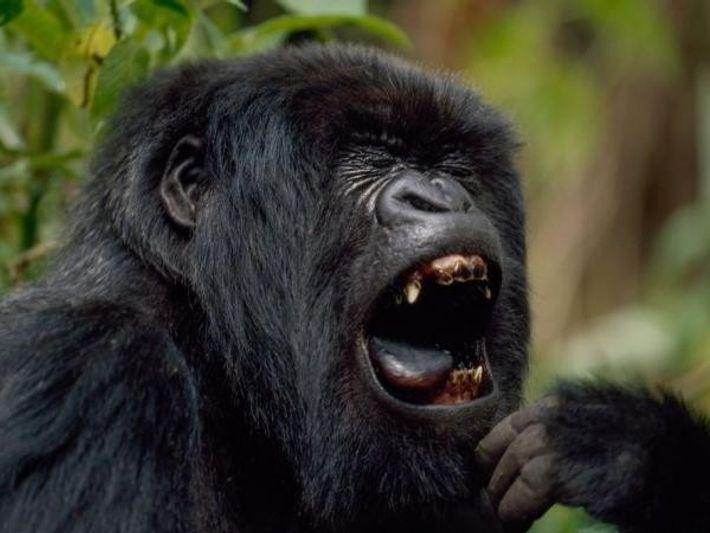 Un gorila enseña su dentadura