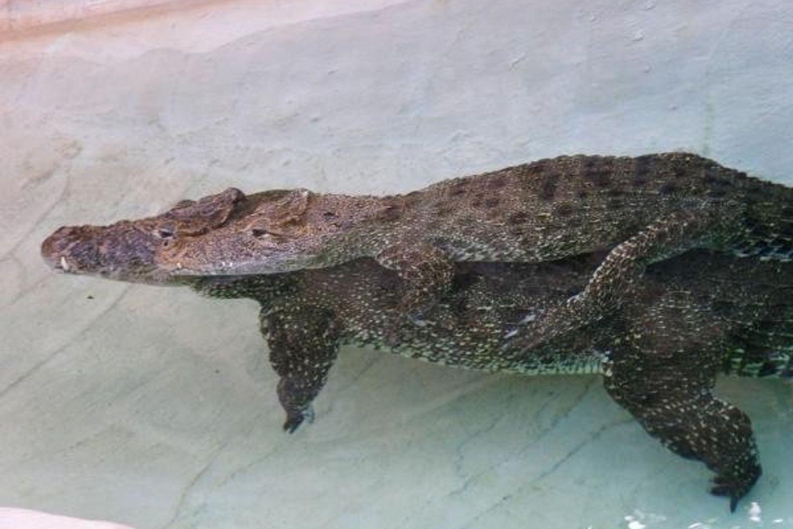 Un cocodrilo lleva a otro a su espalda