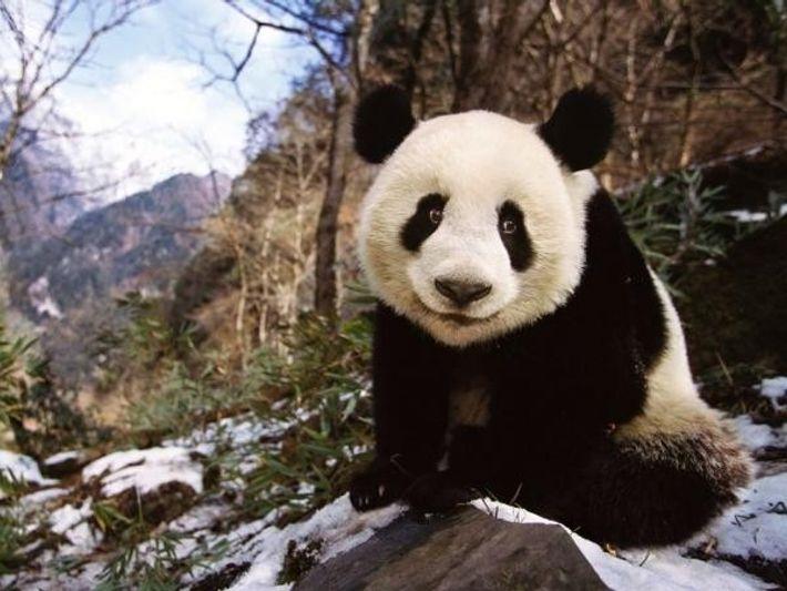 Un panda gigante en la provincia de Sichuan (China).