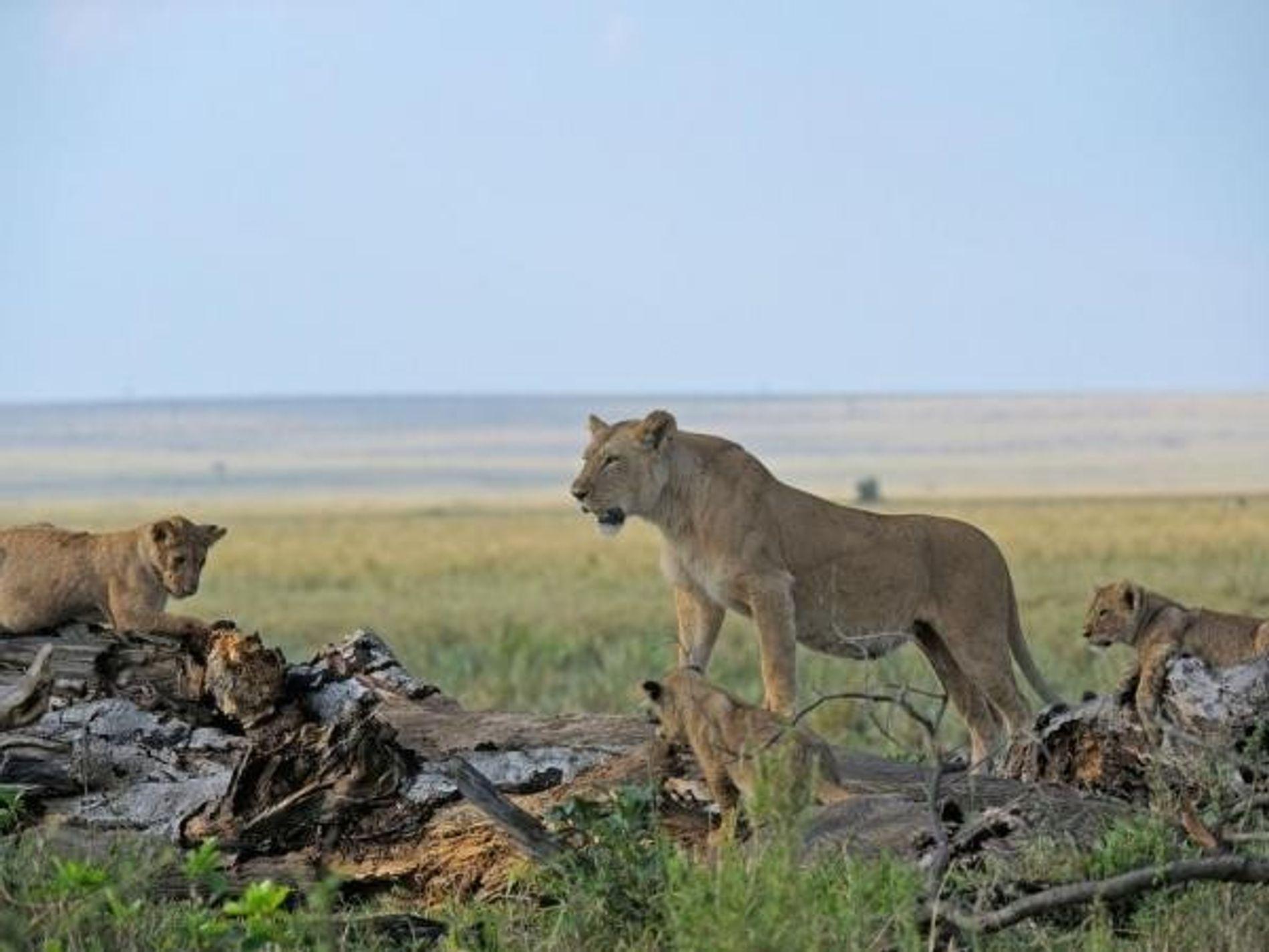 Parte de la familia Marsh Pride en la reserva de Masai Mara, Kenia.