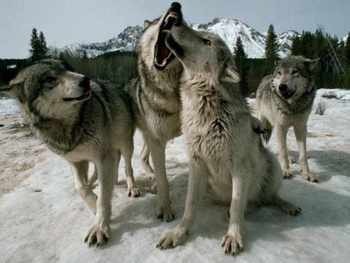 Bailando con lobos