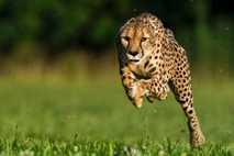Sarah, el guepardo más veloz del mundo