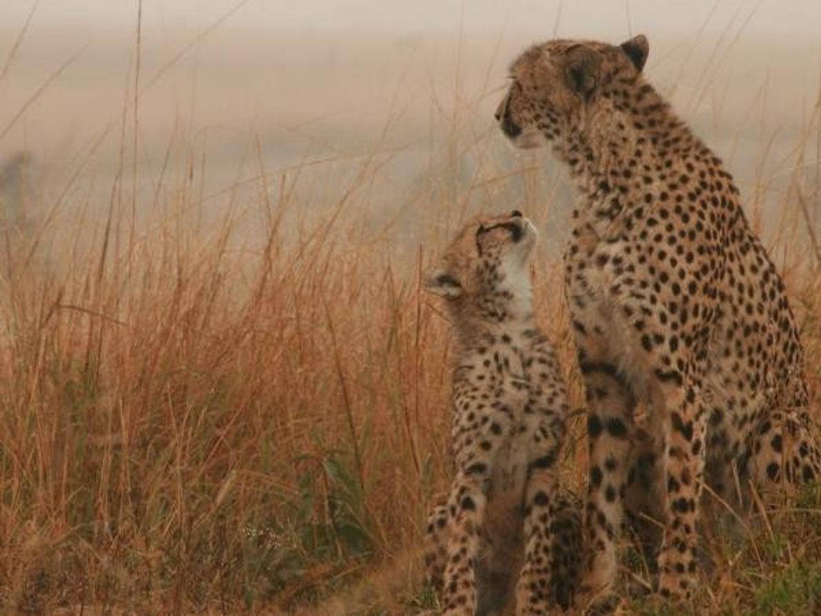 Mamá guepardo