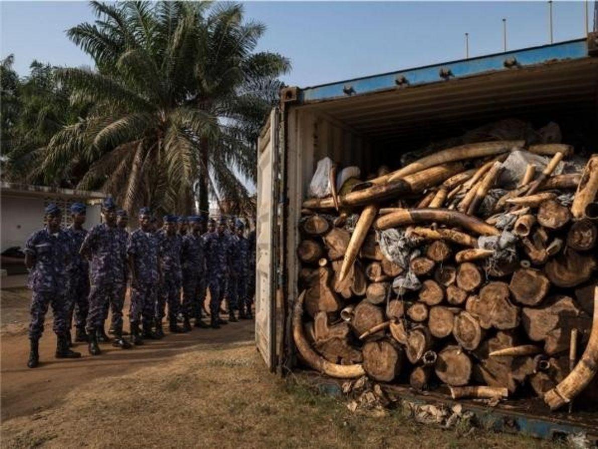 Funcionarios de aduanas en Lomé, Togo, posan con cuatro toneladas de marfil ilegal incautado en enero …