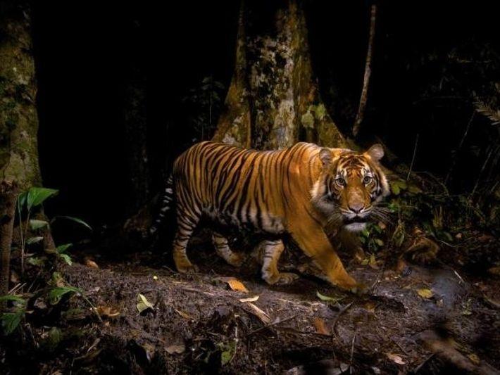 Un tigre es captado en Sumatra mientras caza. Por Steve Winter, National Geographic Creative