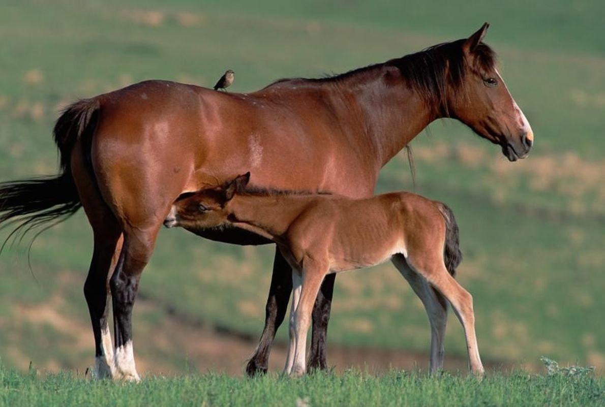 Mustango español