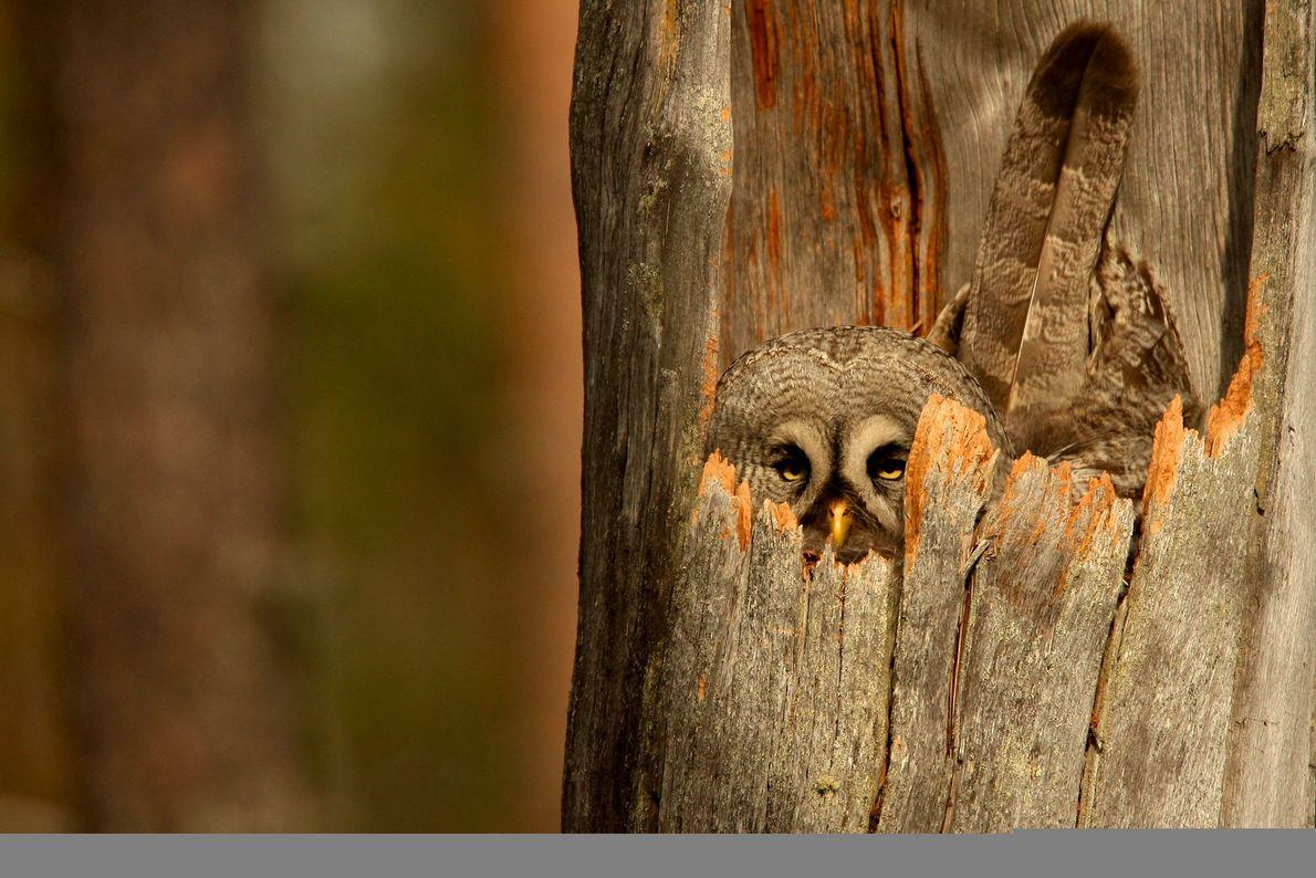 Great gray owl. Ruhtinaansalmi, Oulu, Finland