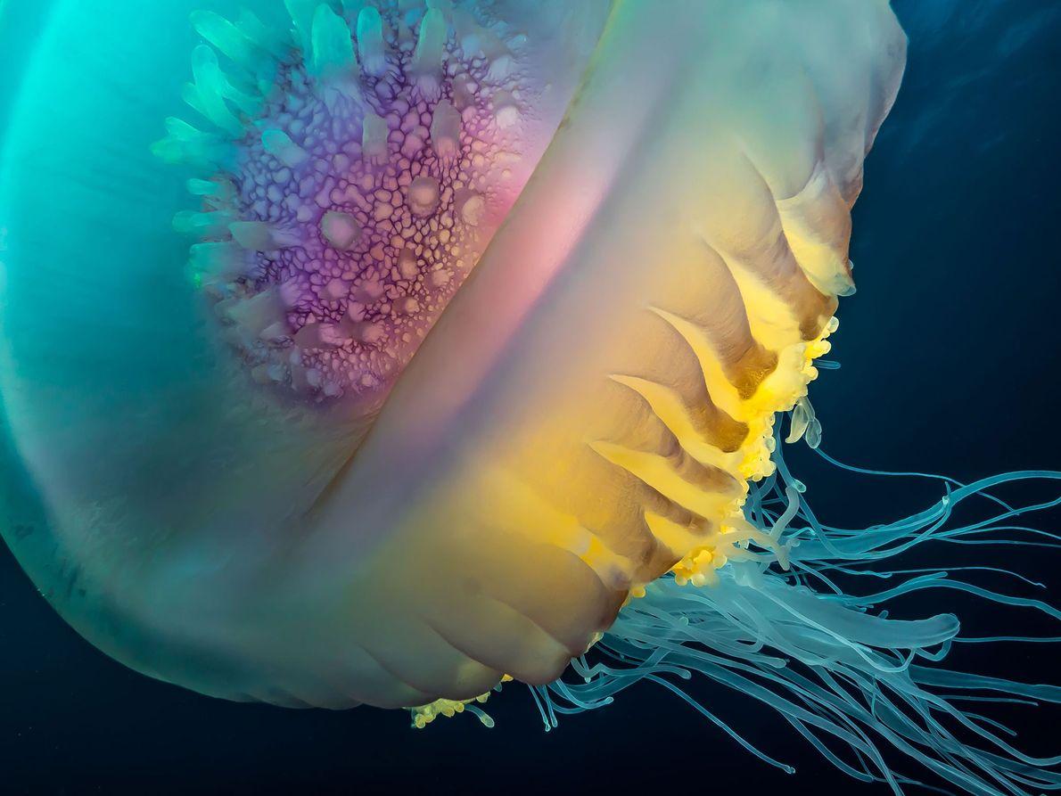 Medusa Cephea