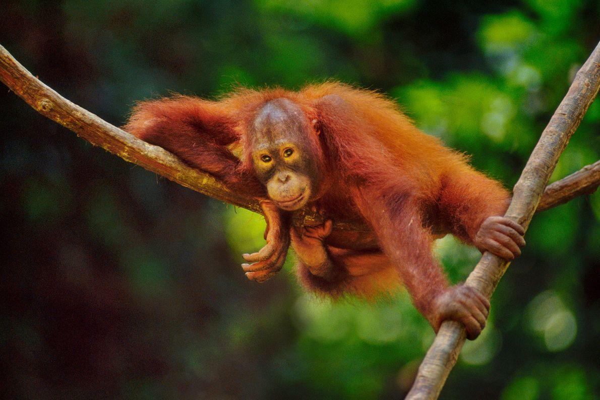 Un orangután de Borneo