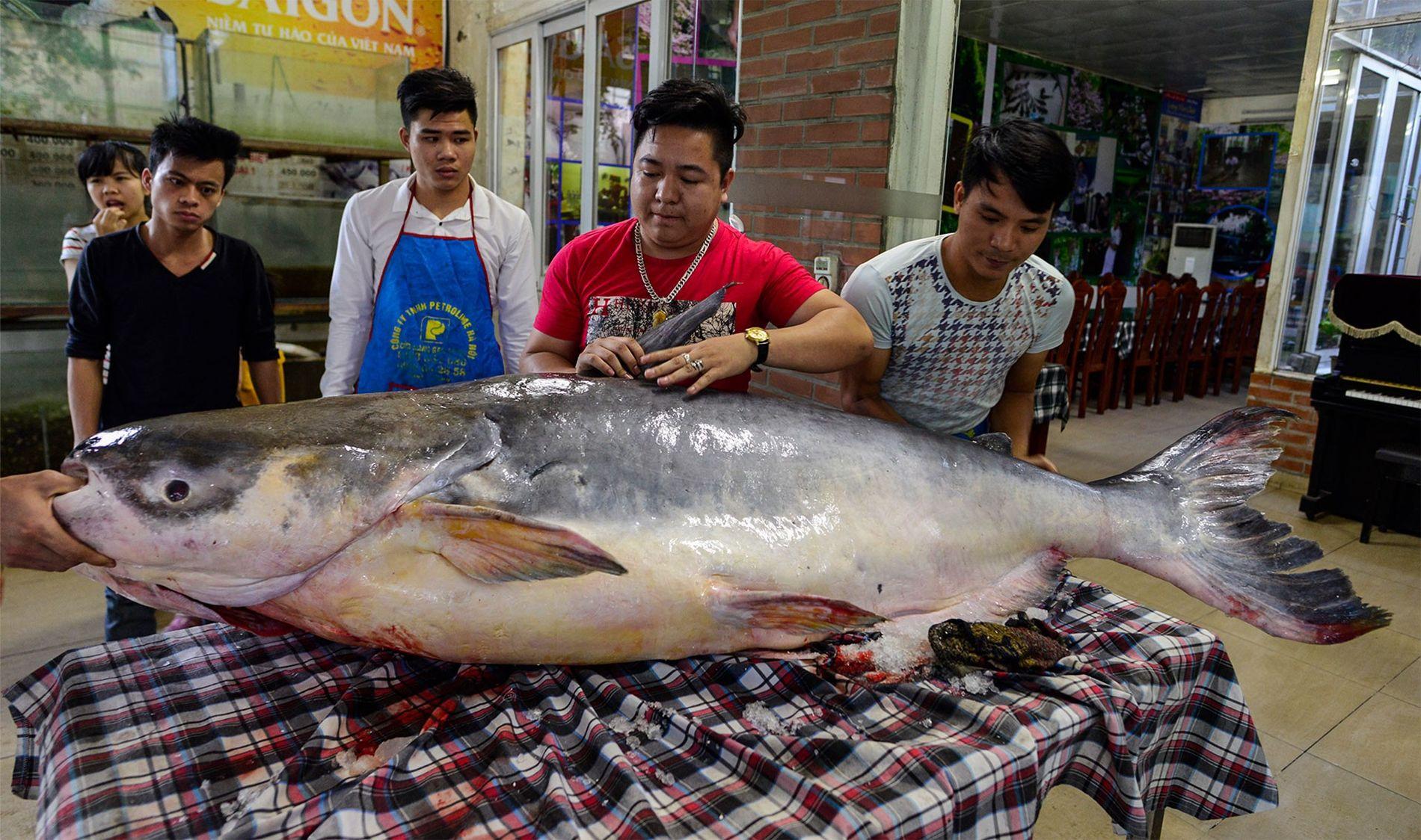 Un pez gato del Mekong de 136 kilogramos atrapado ilegalmente en el lago Tonle Sap, Camboya, exhibido en un restaurante en Hanoi, Vietnam.