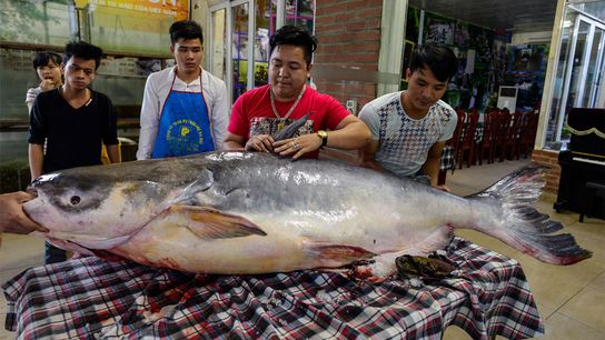 Un pez gato del Mekong