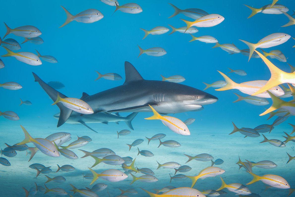 Tiburones de arrecife y rabirubias