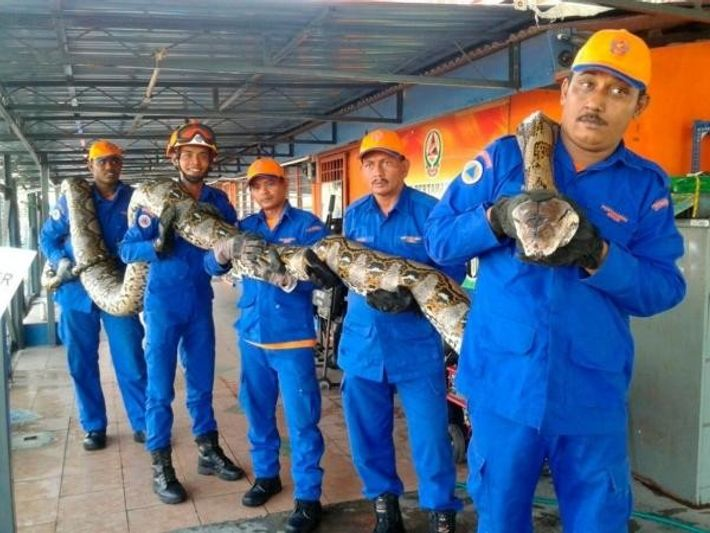 Segunda serpiente más grande del mundo sostenida por miembros de las Fuerzas de Denfensa Civil de ...