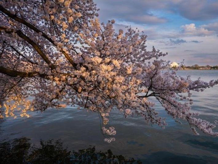 Árbol de la Amistad. Cerezo Yoshino. Washington, D.C.