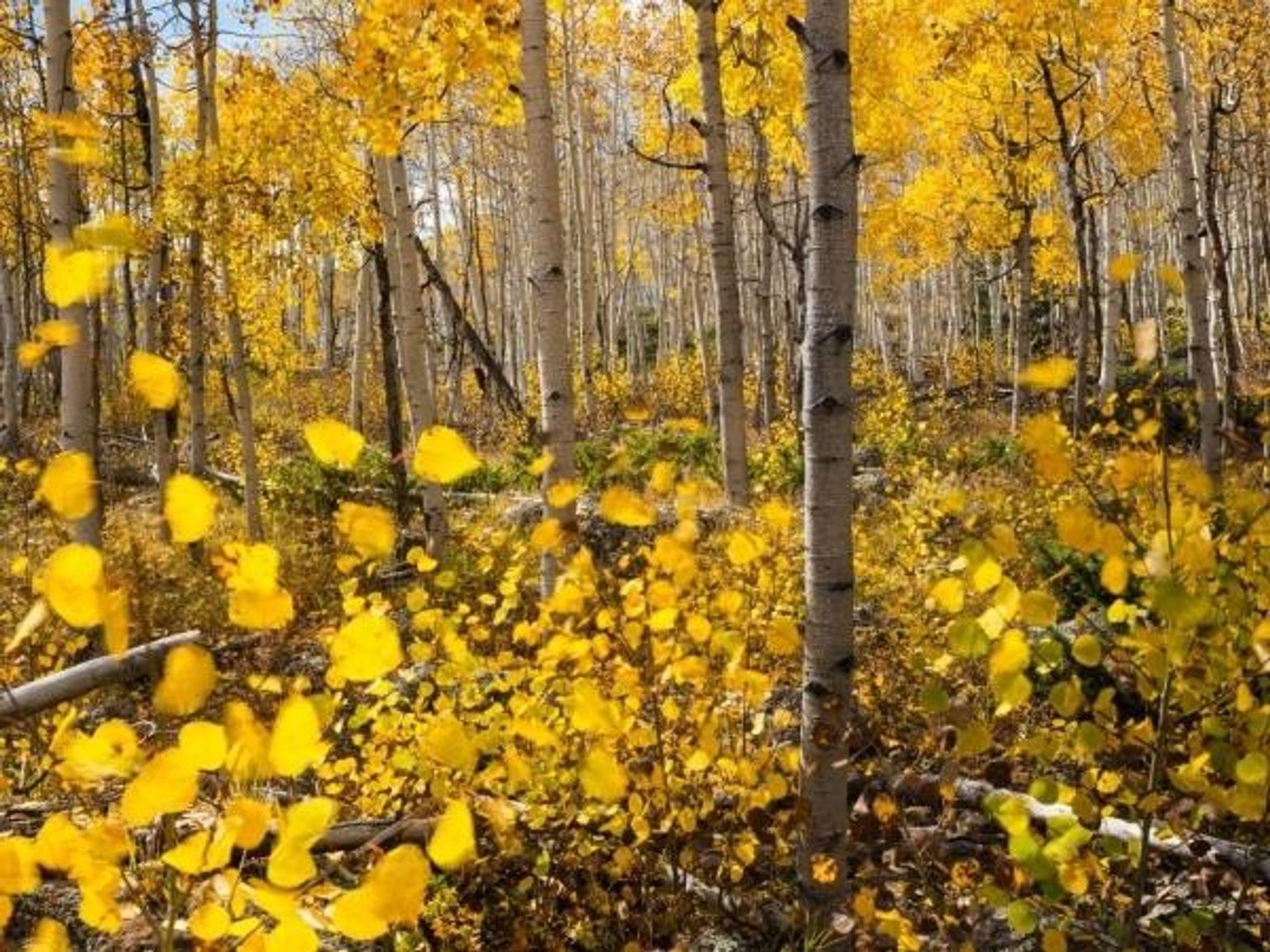 Pando, álamo temblón. Bosque Nacional Fish Lake, Utah