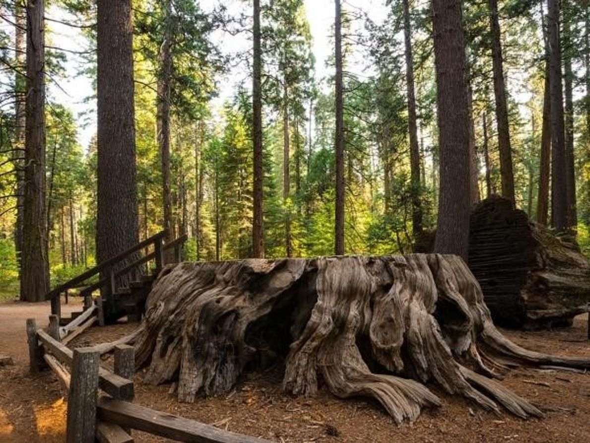 Árbol del Descubrimiento, Secuoya. Calaveras Big Trees State Park, California