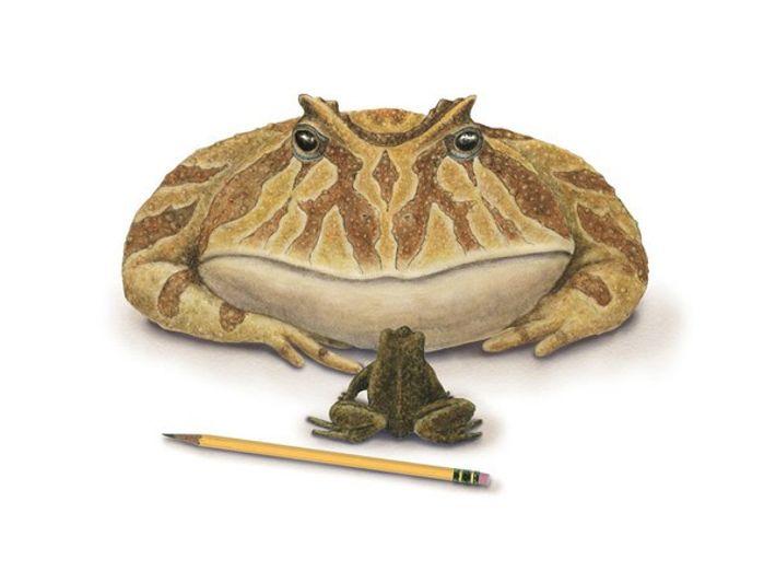 Ilustración representando una rana diablo