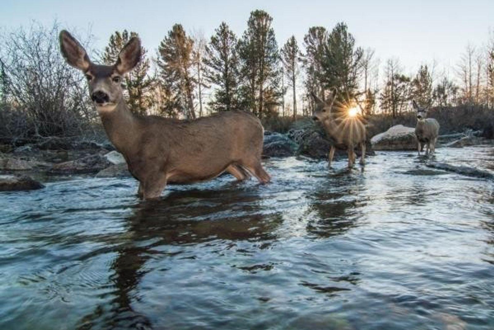Ciervo mula migra atravesando el oeste de Wyoming, un viaje de ida y vuelta de casi ...
