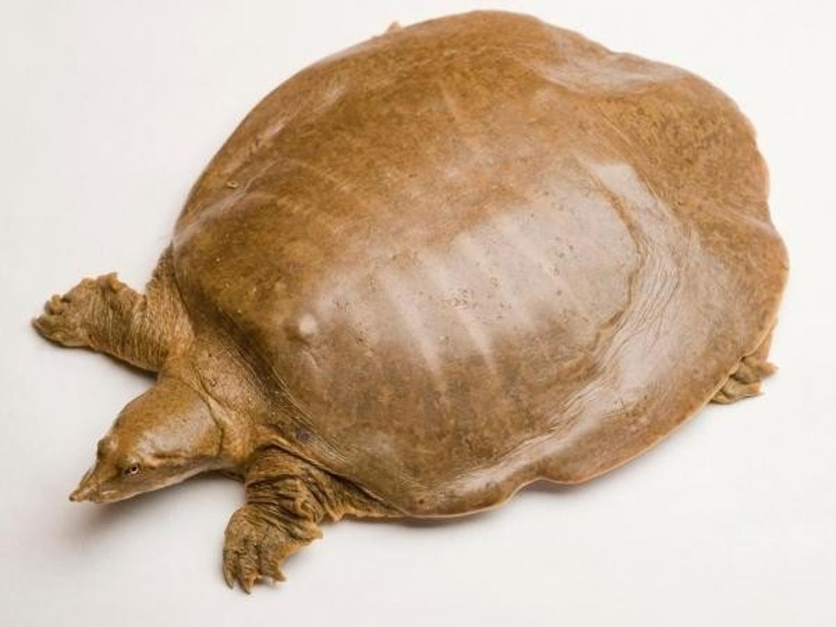 Jabba la tortuga