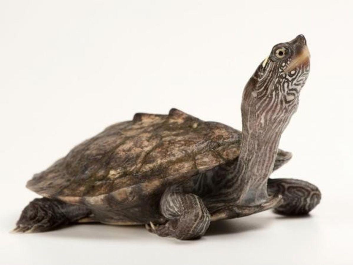 Una falsa tortuga mapa (Graptemys pseudogeographica) tiene líneas en la superficie de su caparazón, pero no …