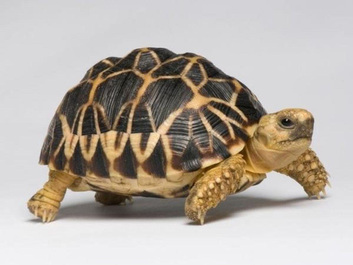 Esta tortuga estrellada(Geochelone platynota), originaria de Myanmar, es una especie en peligro de extinción.