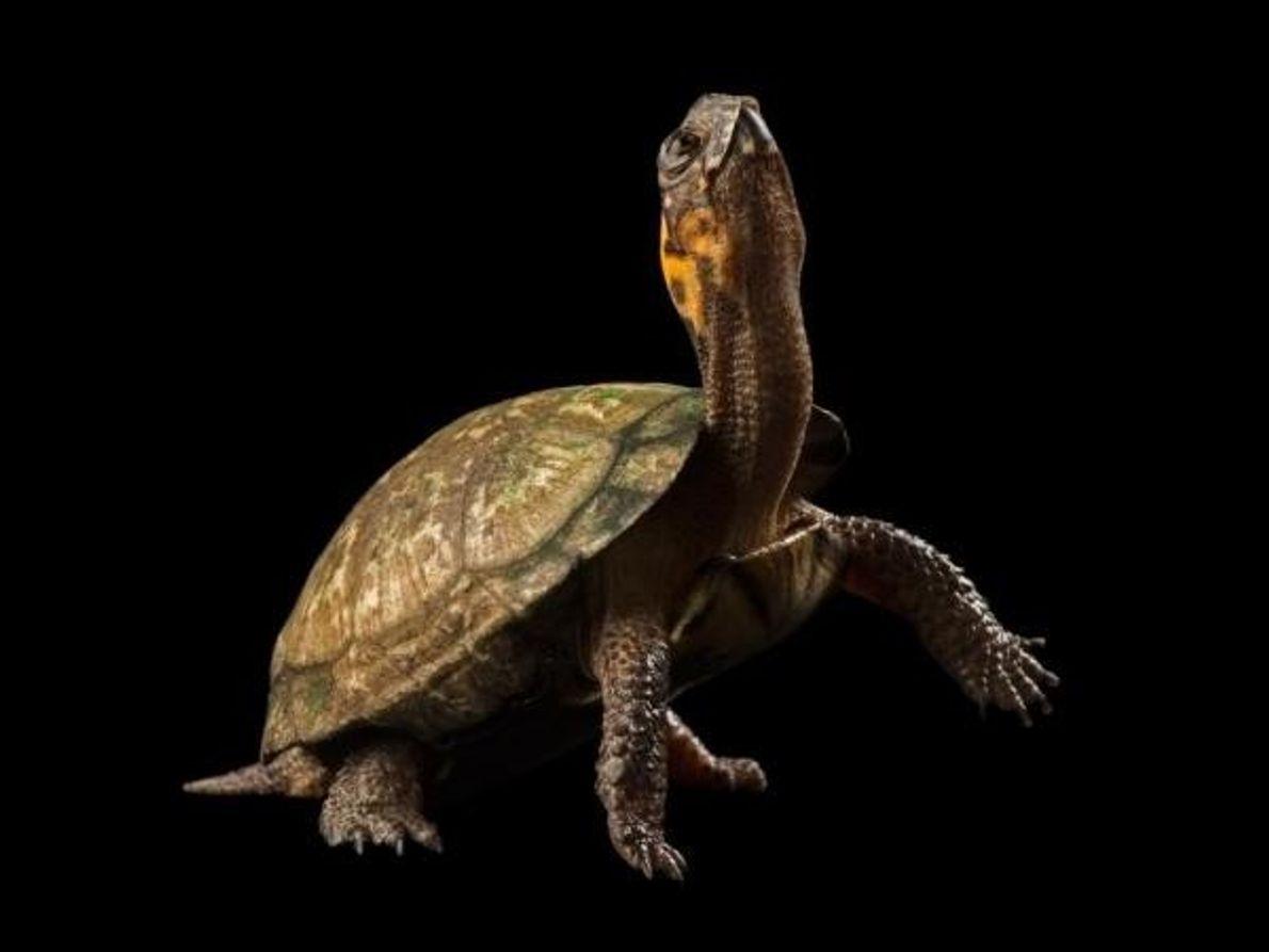 La tortuga de pantano (Glyptemys muhlenbergii) es una especie en grave peligro de extinción. Vive en …