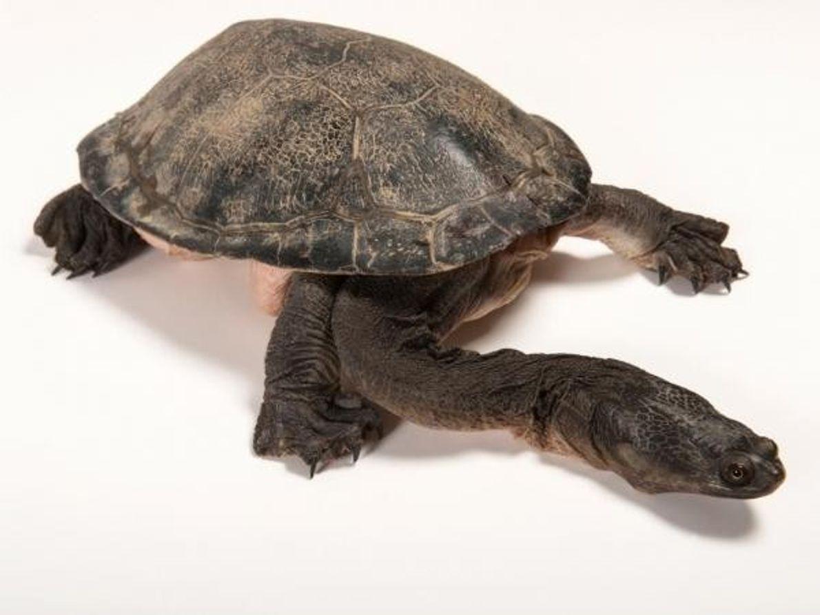 Tortugas gigantesde cuello de serpiente (Chelodina expansa). Su nombre no necesita muchas explicaciones.