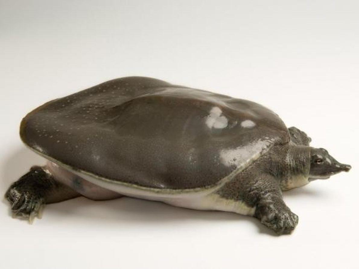 El 23 de mayo fueelDía Mundial de la Tortuga, una fecha que defiende la protección y …